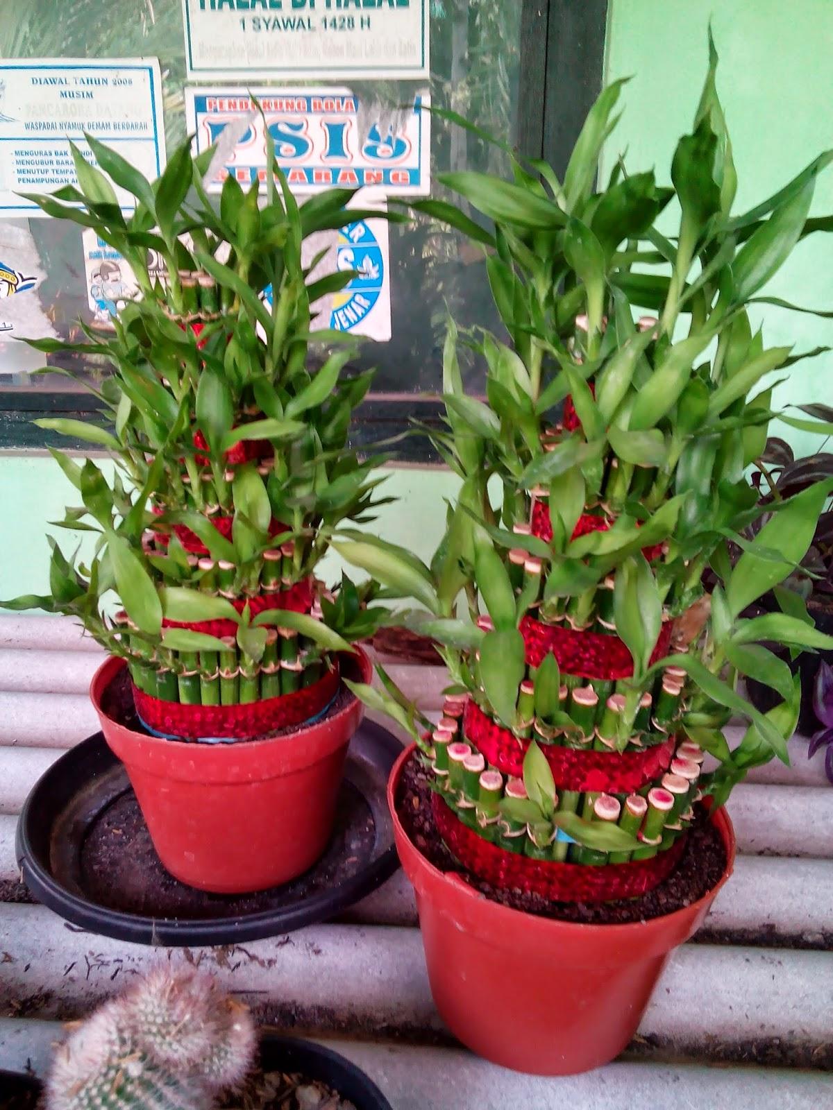 Bambu Rejeki Tanaman Pembawa Keberuntungan Education Articles