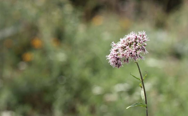 Joe-Pye Weed Flowers