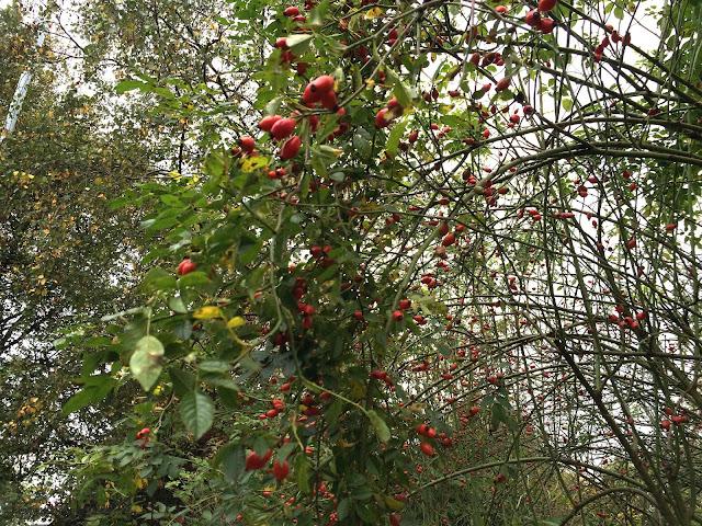 rose hip tree?