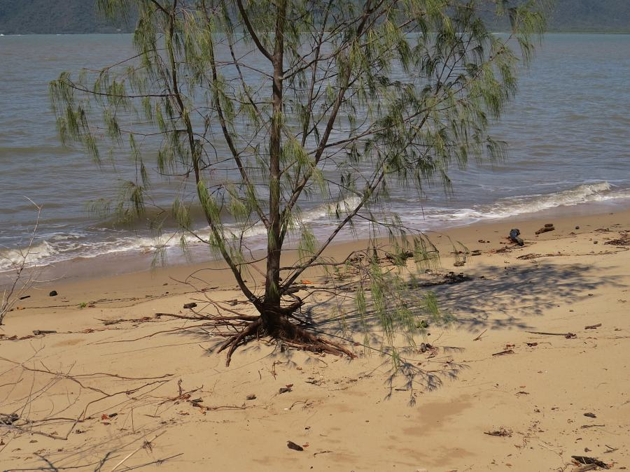Beach casuarina beside sea
