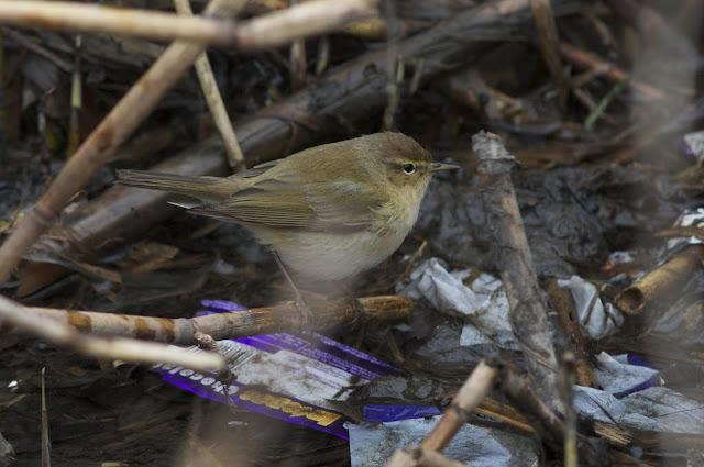 Birds, Birding, Photography, collybita
