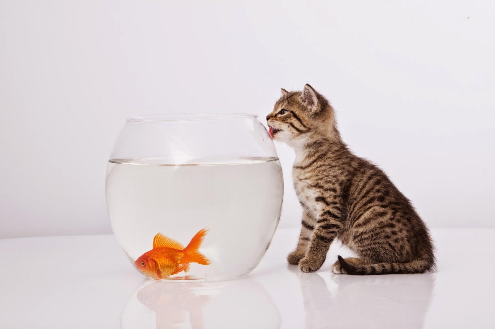 Mèo ngắm bể cá cảnh