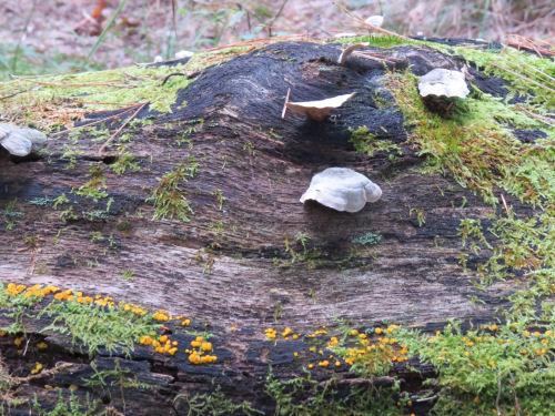fungus on log