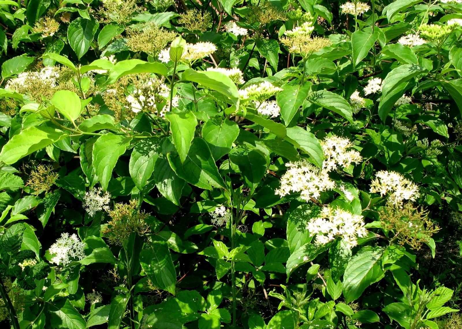 Using Georgia Native Plants Roadside White Shrubs