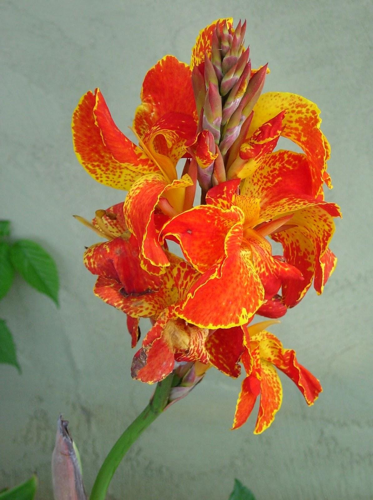 Цветок шагающий ирис фото