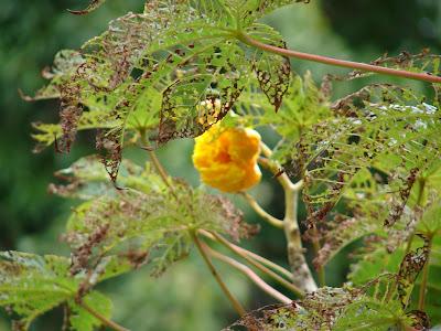 minkra Cochlospermum vitifolium