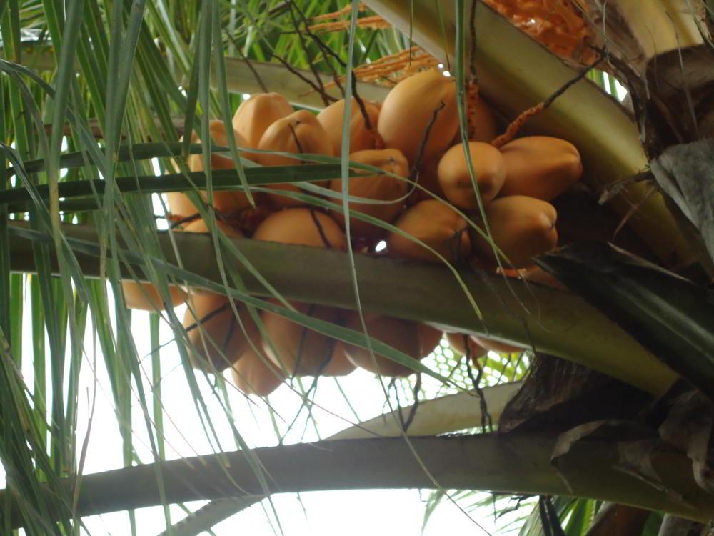kelapa cocos nucifera adalah anggota tunggal dalam marga cocos dari