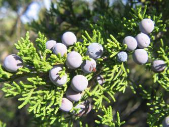 Juniperus ashei y su relacion con la fauna en peligro Cedro de montaña