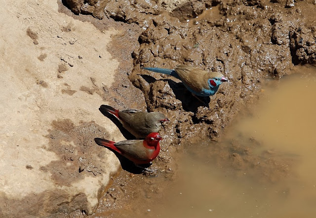 Cordonbleu and  Firefinches in Ethiopia