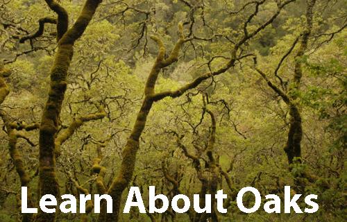 Sonoma County Gazette Pepperwood Preserve Class On Oaks