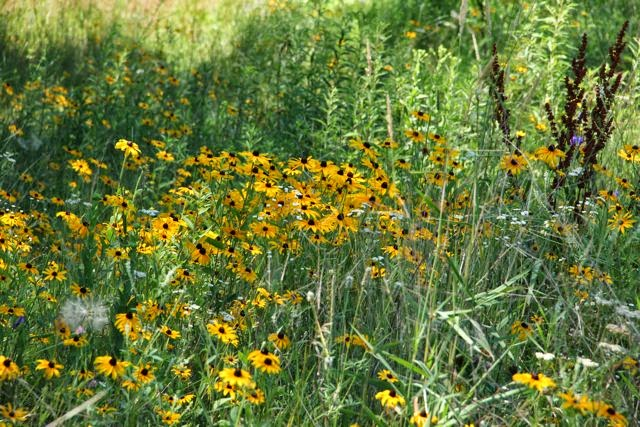 black-eyed Susan growing at a roadside