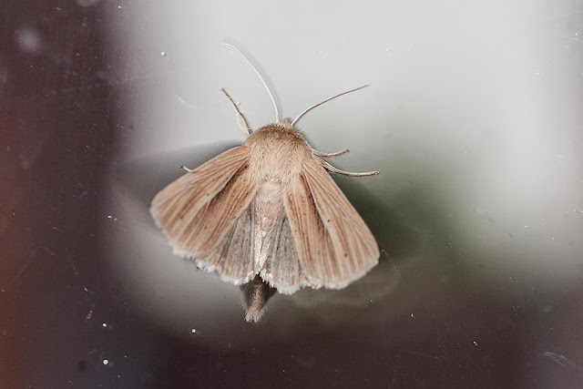 Smoky Wainscot (under wing showing)