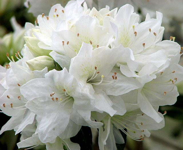 Lulet dhe kuptimi i ngjyrave te tyre  White+Flowers