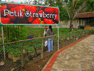 memetik strawberry di floating market lembang