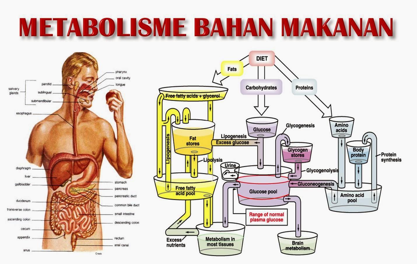 metabolisme kolesterol dan steroid