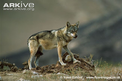 Indian Wolf pictures and life in nature