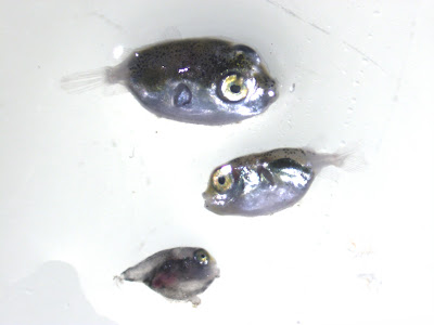 Pufferfish larvae