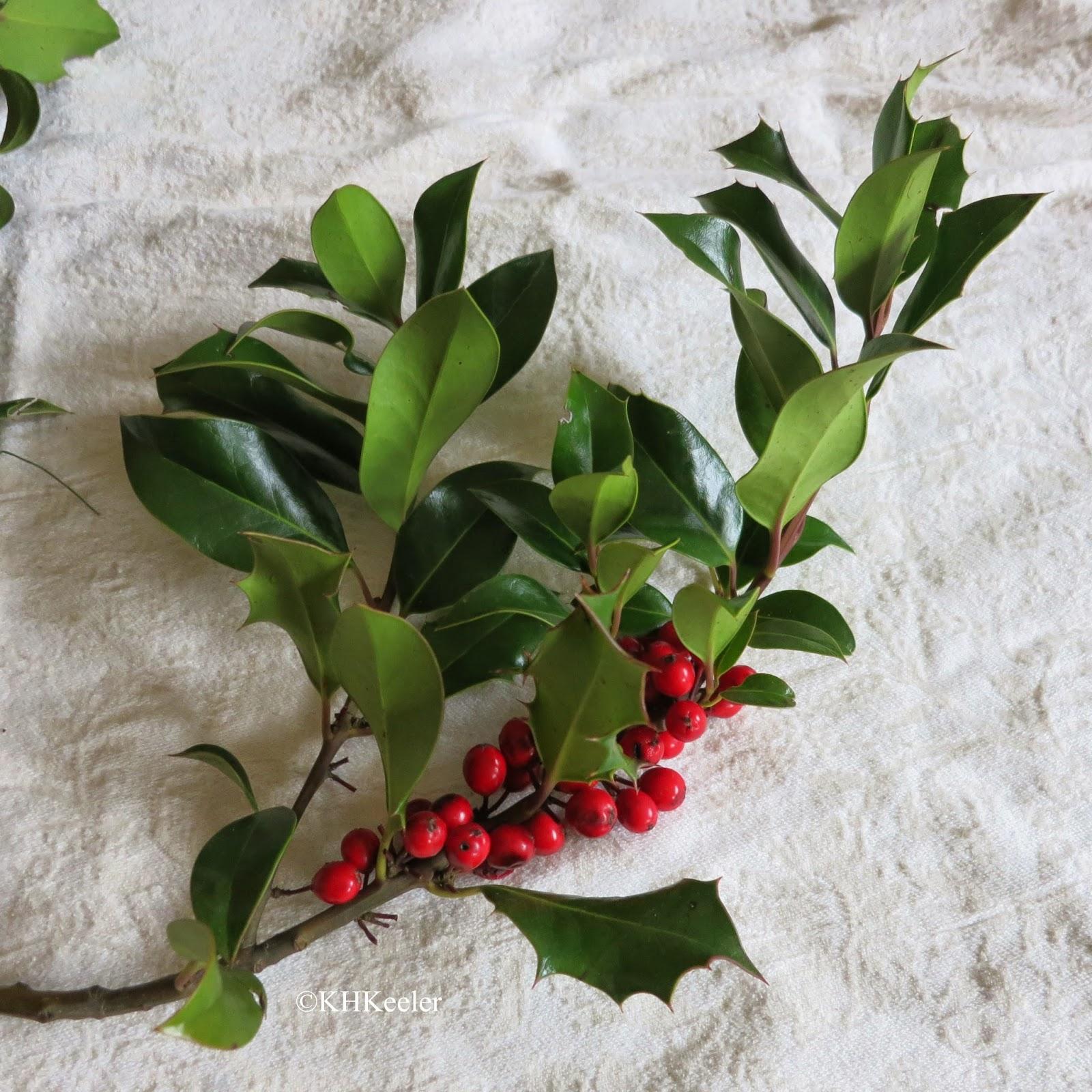 European holly, Ilex aquifolium