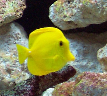 Coral reef fish yellow - photo#3
