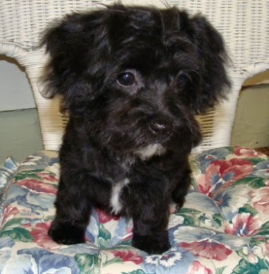 The Healthy Dog Yorkie Poodle Mix Puppy