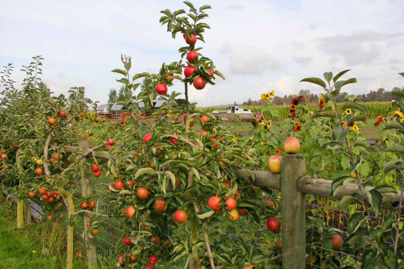11 fall activities to check out in Seattle; apple picking at The Farm at Swan's Trail