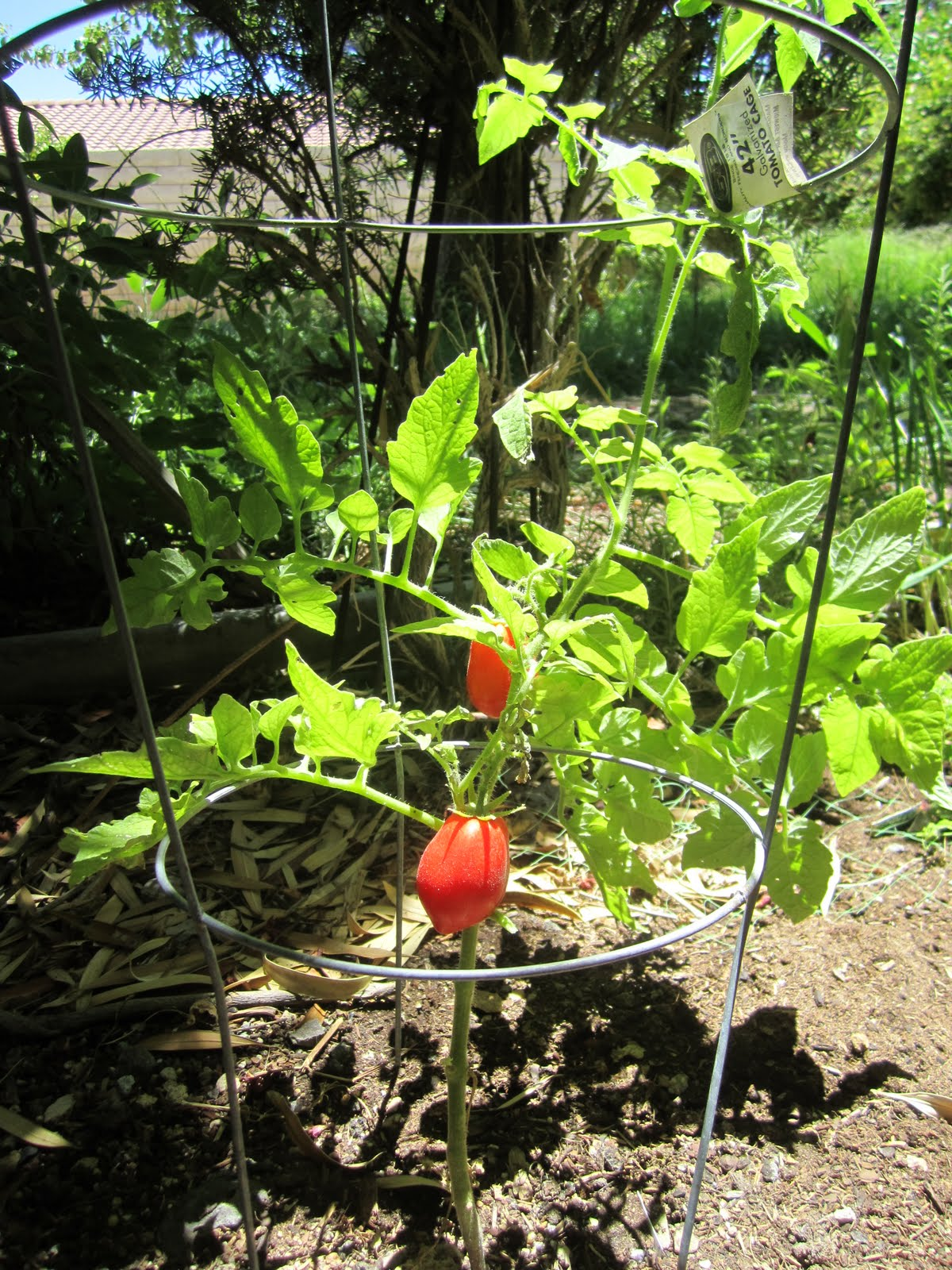 Growing cherry tomatoes in pots - Here Is One Of My Roma Tomato Plants Notice How I Have A Tomato Cage For The Plant To Grow Up Into For Support I Put These In My Potted Cherry Tomatoes