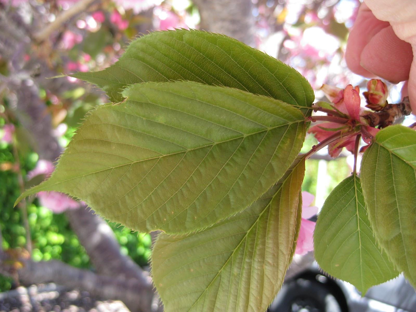 Trees of Santa Cruz County: Prunus serrulata \'Kwanzan\' - Kwanzan ...