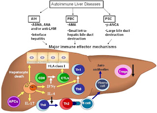 Autoimmune Mechanism of Hepatitis