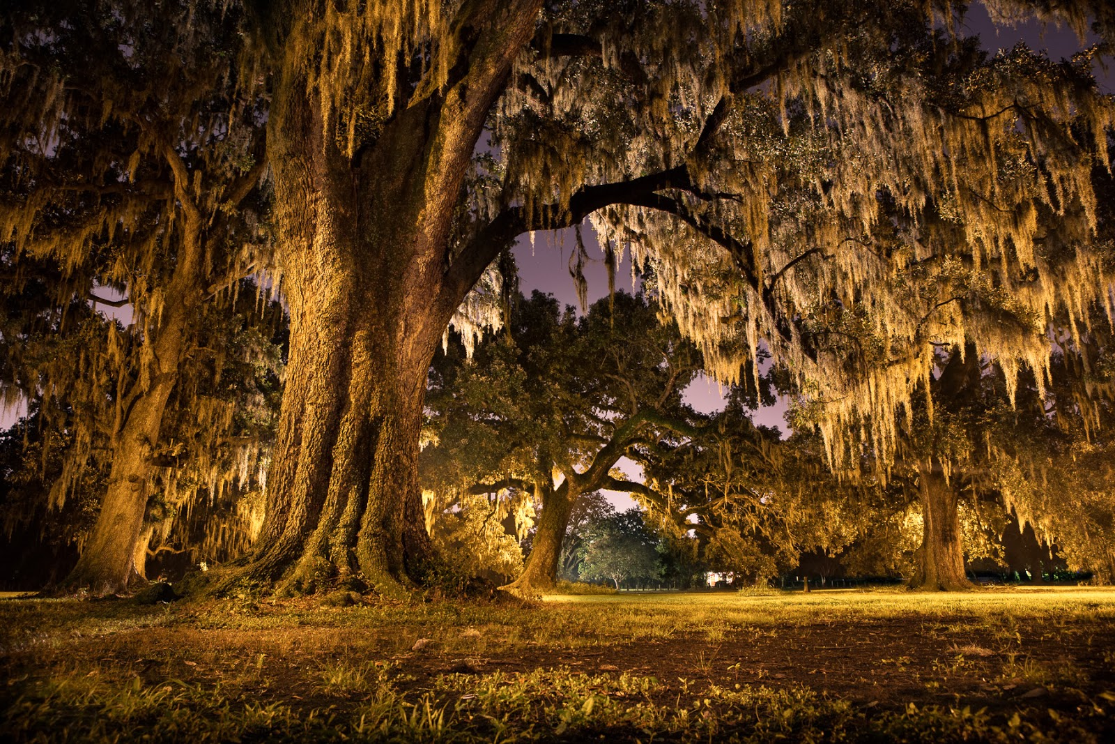 an analysis of the life of walt whitmas live oak Discussion of themes and motifs in walt whitman's i saw in louisiana a live-oak growing enotes critical analyses help you gain a deeper understanding of i saw in louisiana a live-oak growing so.