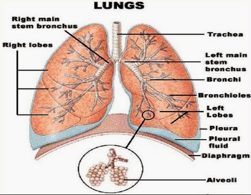 gambar struktur paru-paru manusia