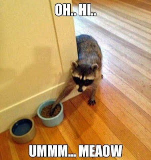 funny-raccoon-cat-stealing-food.jpg