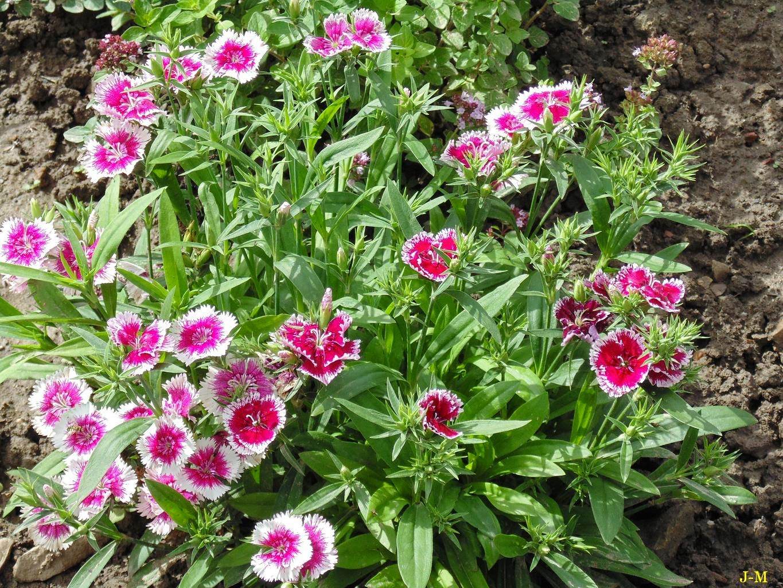 Mon jardin en moselle mes merveileux illets - Oeillets de poete ...