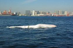 Dead Whale In Tokyo Bay after Fukushima Disaster