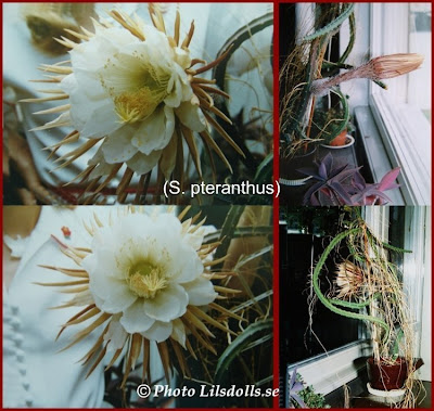 houseplant, nattens prinsessa, other, prinsess of the night, s. pteranthus