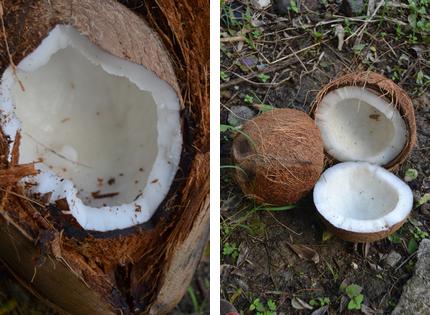 Comment savoir si une noix de coco est bonne