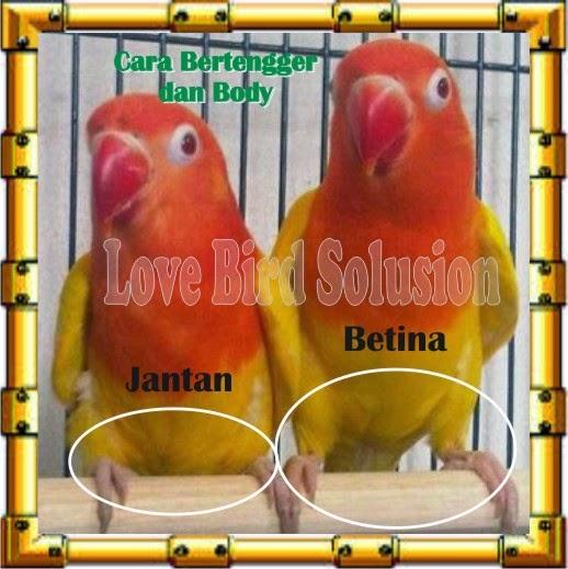 MEMBEDAKAN JENIS KELAMIN PADA LOVEBIRD Kali ini LOVE BIRD SOLUSION akan membahas tentang membedakan jenis kelamin pada Burung Kesayangan Anda ( LoveBird ) karena begitu banyak masukan dan pertanyaan dari teman-teman pecinta Love Bird, Banyak sekali yang bertanya, bagaimanakan cara membedakan lovebird jantan dan betina? Agak susah susah gampang memang cara membedakan jenkel lovebird, perlu ada nya ketekunan, ketelitian dan mempunyai pengalaman untuk membedakan nya, namun ada saja para breeder yang salah juga memprediksikannya. Itulah seni nya beternak lovebird CP. 085647213500 - Pin . 7F865D6D
