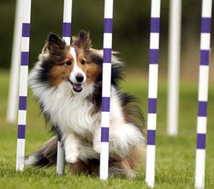 el agility canino