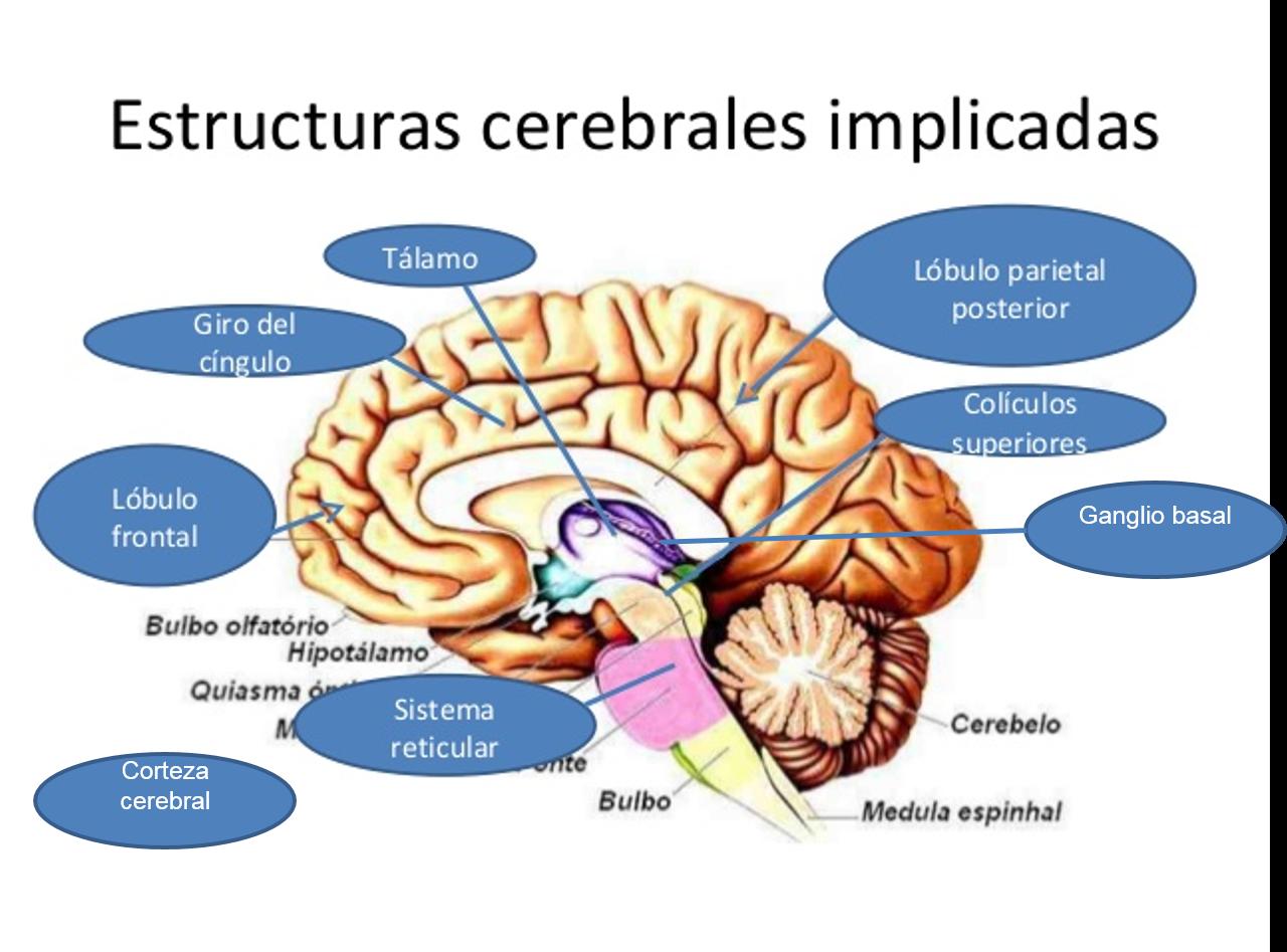 Estructuras cerebrales de la atención