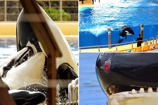 killer whale in captivity essay The practice of keeping killer whales in captivity is controversial captive killer whales often give birth at a much younger age than in the wild.