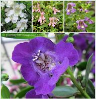 Angelonia-angustifolia variedades de color