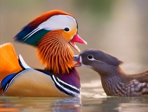 voce realmente sabia pato mandarim aix galericulata