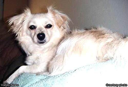 Cute Dogs: Papillon Pomeranian Mixed Dog Cute Pitbull Puppy Black