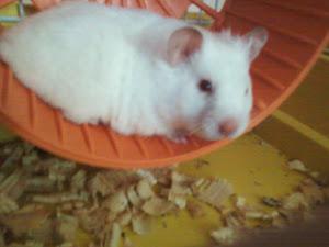 Imagem de hamster