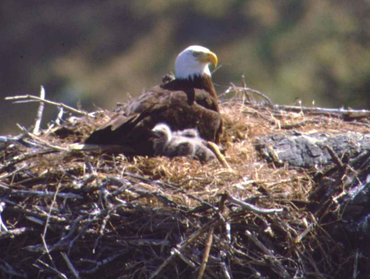 Bald Eagle On Santa Cruz Island Photo Peter Sharpe