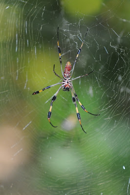 Golden Silk Orbweaver (Nephila clavipes)