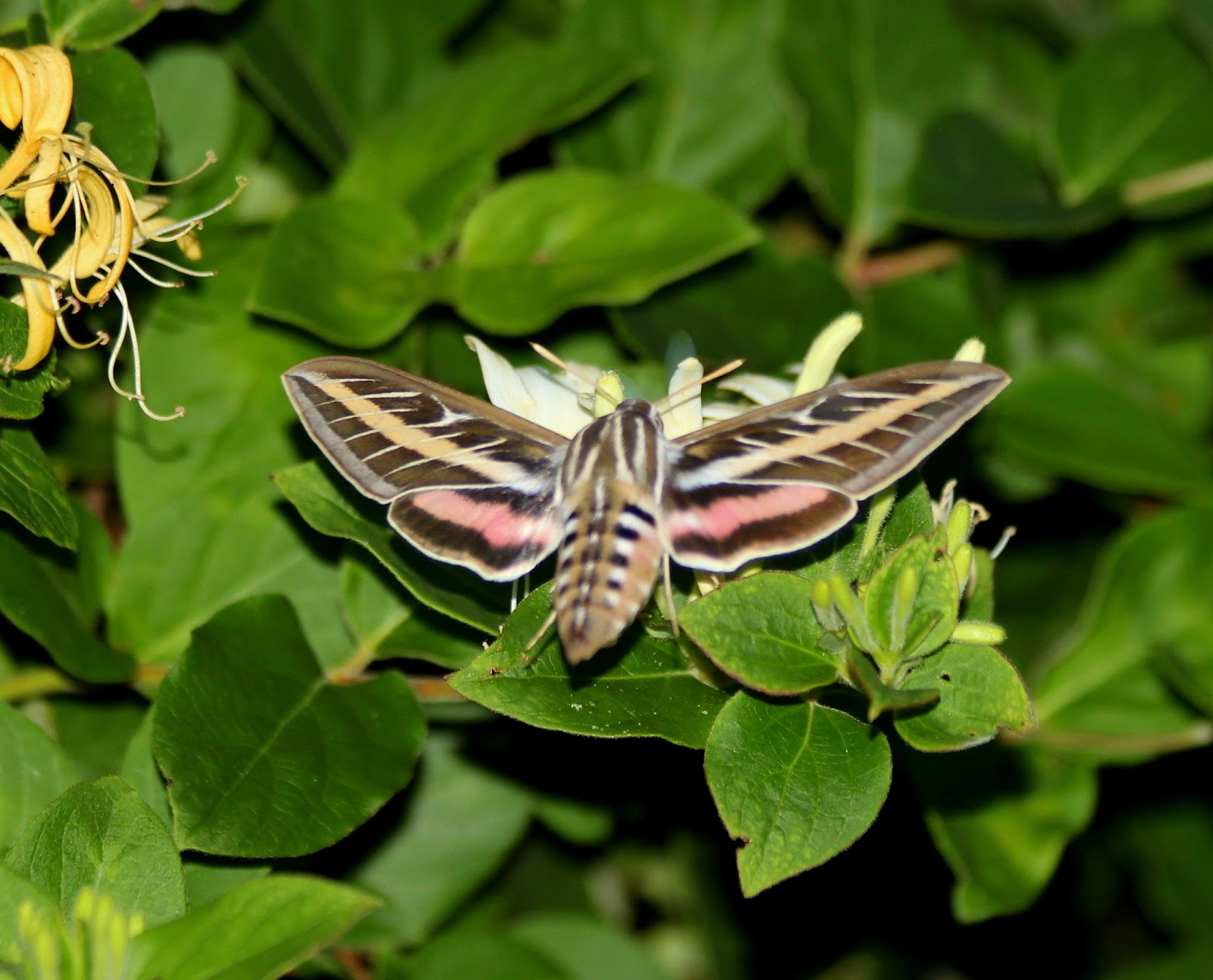 White lined sphinx moth life cycle - photo#28