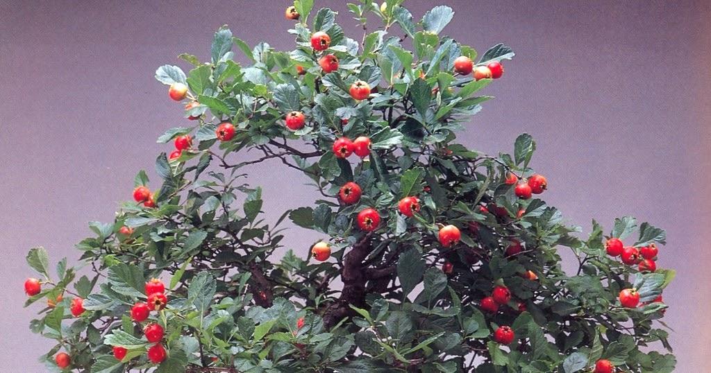 Bonsai crataegus o pirakansa cuidados verde jard n - Cuidado del bonsai ...