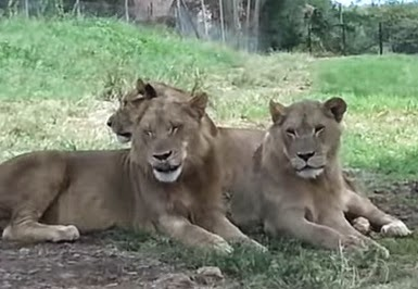 leones-siesta