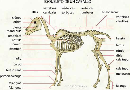 Caballos, Yeguas y Potros: Anatomía Equina: EL ESQUELETO