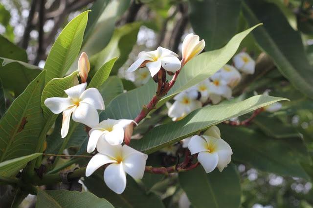 franjipani lilyfield life